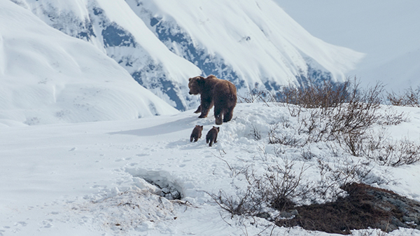grizzly-disney-nature